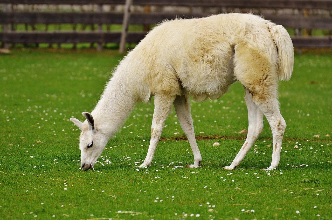Где обитают ламы: фото и забавные факты